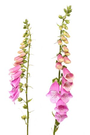 foxglove flower isolated on white background