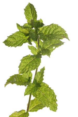 ingedient: Mint on a white background