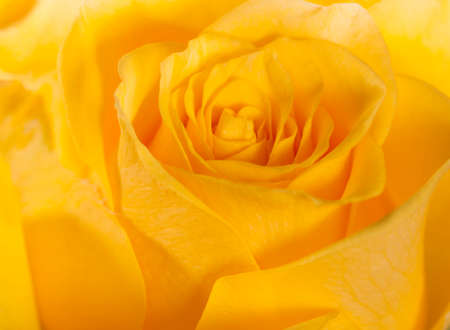 Yellow rose abstract background texture photo