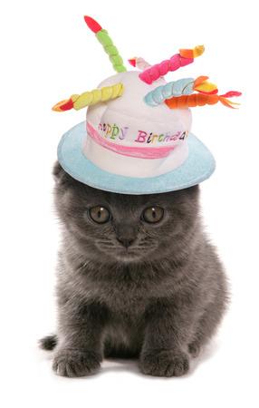 Scottish Fold blue kitten wearing birthday hat photo