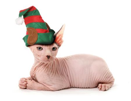 sphinx elf cat photo