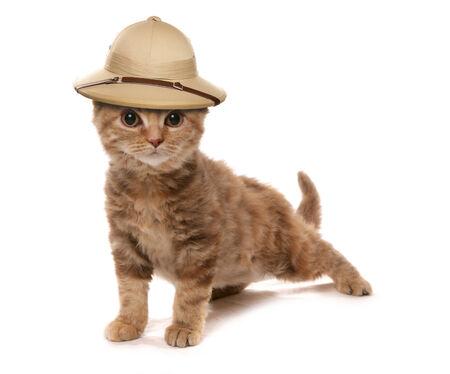 セルカーク ・ レックス チョコレート三毛ネコ子猫 safair ジャングル探検家の帽子をかぶっています。