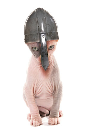 bald ugly: Sphynx Kitten wearing a norseman helmet studio cutout