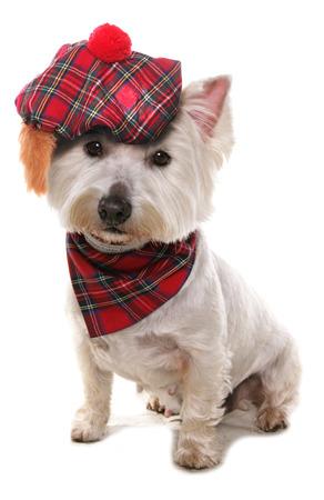 West highland terrier wearing a tartan hat  Фото со стока