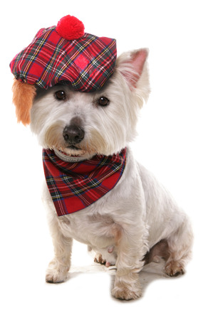typically scottish: West highland terrier wearing a tartan hat  Stock Photo