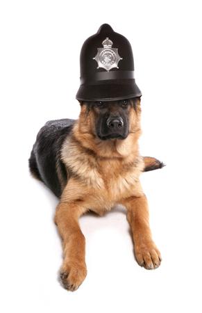 警察ヘルメットを身に着けているジャーマン ・ シェパード犬 写真素材