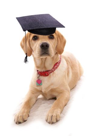 puppy obiedience school dog wearing mortar board hat