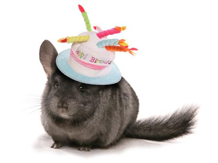 誕生日の帽子を身に着けているチンチラ