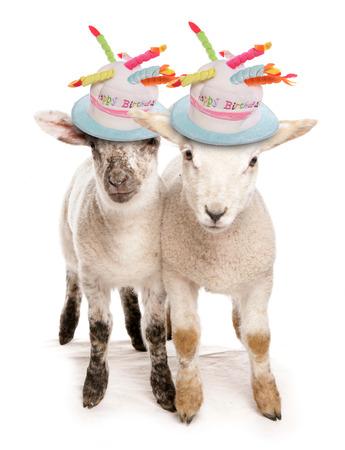 誕生日の帽子 2 つ子羊
