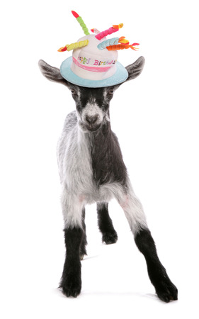 pigmy: pigmy goat standing studio