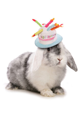 lagomorpha: Domestic Rabbit Portrait of single adult Studio, UK