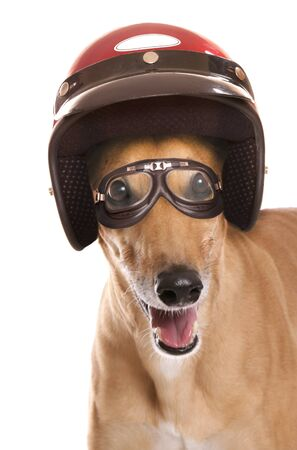 crash helmet: Greyhound wearing a crash helmet cutout