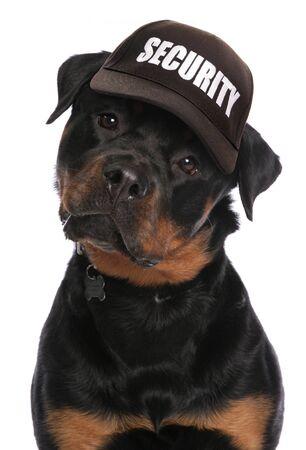 guarding: Rottweiler wearing security baseball cap