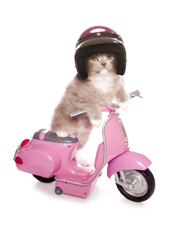 Ragdoll kitten riding a pink scooter cutout photo