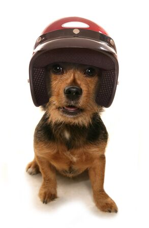 crash helmet: Terrier wearing a crash helmet cutout