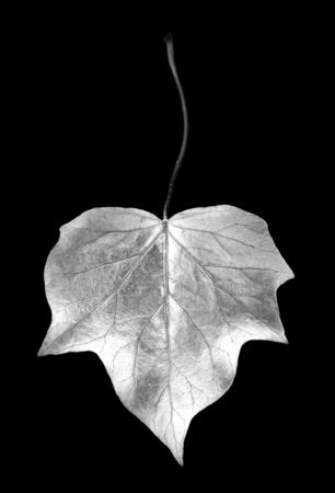 ritagliare: fotogramma digitale di edera foglia in studio ritagliato Archivio Fotografico