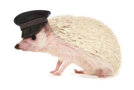 drive safely: pygmy hedgehog wearing chauffeur hat cutout Stock Photo