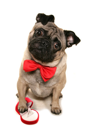 quizzical: Will you marry me pug cutout