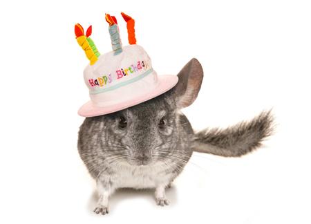 lanigera: Chinchilla wearing happy birthday hat cutout