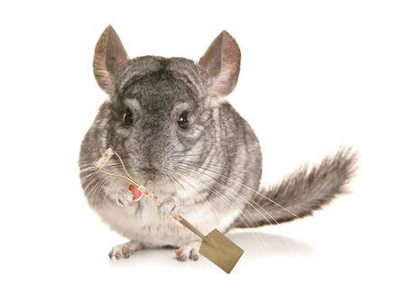 chinchilla: Chinchilla with a spade cutout