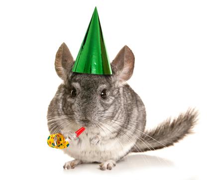 lanigera: Chinchilla wearing party hat and blower cutout Stock Photo