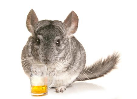 lanigera: Chinchilla with a pint of beer cutout