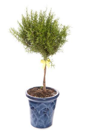 ritagliare: rosmarino albero in studio tagliato