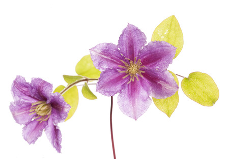 cutout: purple clamatis flower studio cutout