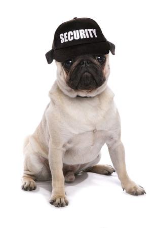 guard dog: guard dog pug studio cutout