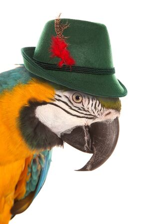fancy dress party: macaw parrot wearing a bavarian hat studio cutout