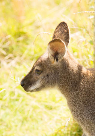 wallaby: wallaby portrait on grass background