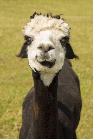 alpaca: cute alpaca portrait on grass