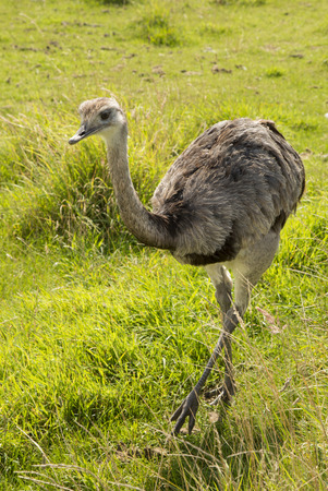 rhea: Greater Rhea walking on grass