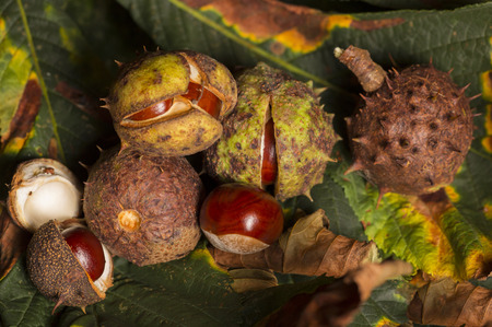 horse chestnut': Horse chestnut conkers on Autumn leaves