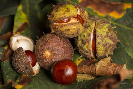 autumn horse: Horse chestnut conkers on Autumn leaves