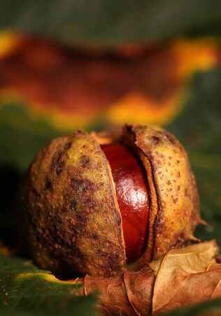 horse chestnut seed: Horse chestnut conker on Autumn leaves