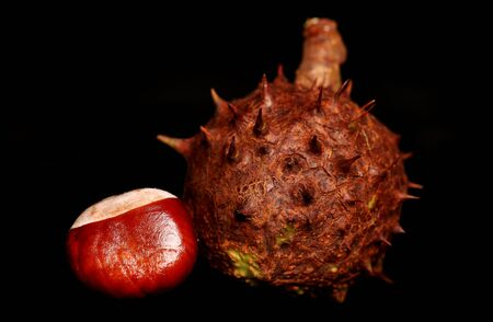 horse chestnut': Horse chestnut conkers on black background Stock Photo