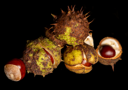 conkers: Horse chestnut conkers on black background Stock Photo