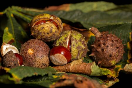 conkers: Horse chestnut conkers on Autumn leaves
