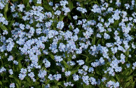 A bed of forget-me-nots.