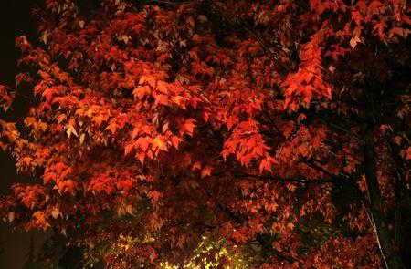 sugar maple: A firery red sugar Maple in full autumn bloom.