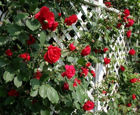 A white trellis supporting a red rose vine. photo