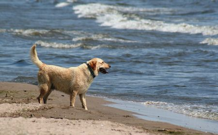 yellow yellow lab: A yellow lab at the beach. Stock Photo