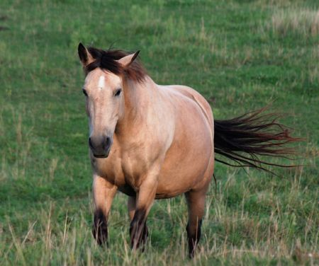 trotting: A palomino horse in trotting across the field.