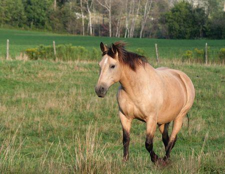 Een Palomino paard wandelingen in een gebied.