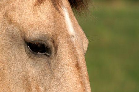 An upclose shot of palomino's face. Stock Photo - 508151