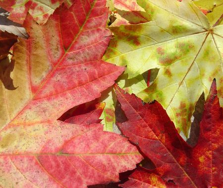A closeup of a bunch of autumn maple leaves. Stock Photo - 529213