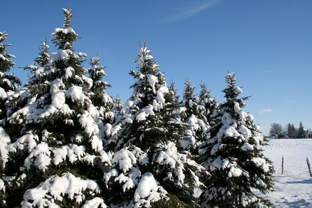 Snow covered evergreens set against a blue sky. Stock Photo - 578924