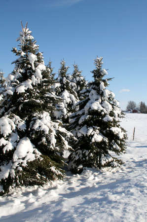 A group of snow covered evergreens shot in the countryside. Stock Photo - 578919