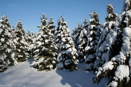 A bunch of snowy evergreens. Stock Photo